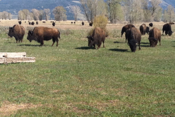 Buffalo in the Front Yard