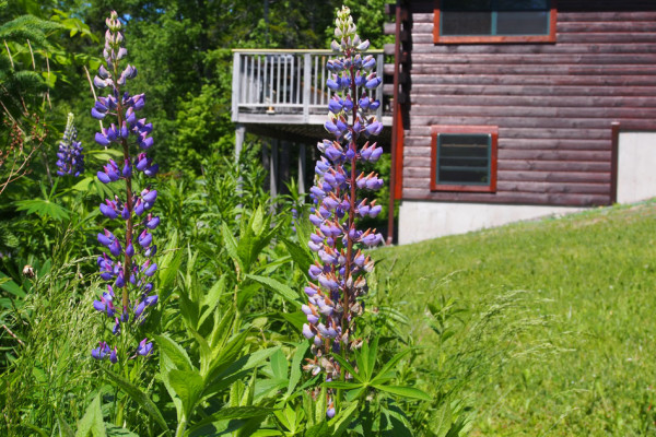 Lupine in Yard