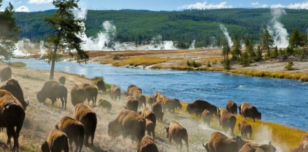 West Yellowstone - Bison Along the Firehole River