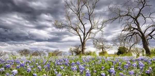 Fredericksburg, TX - Bluebonnets on a Stormy Day
