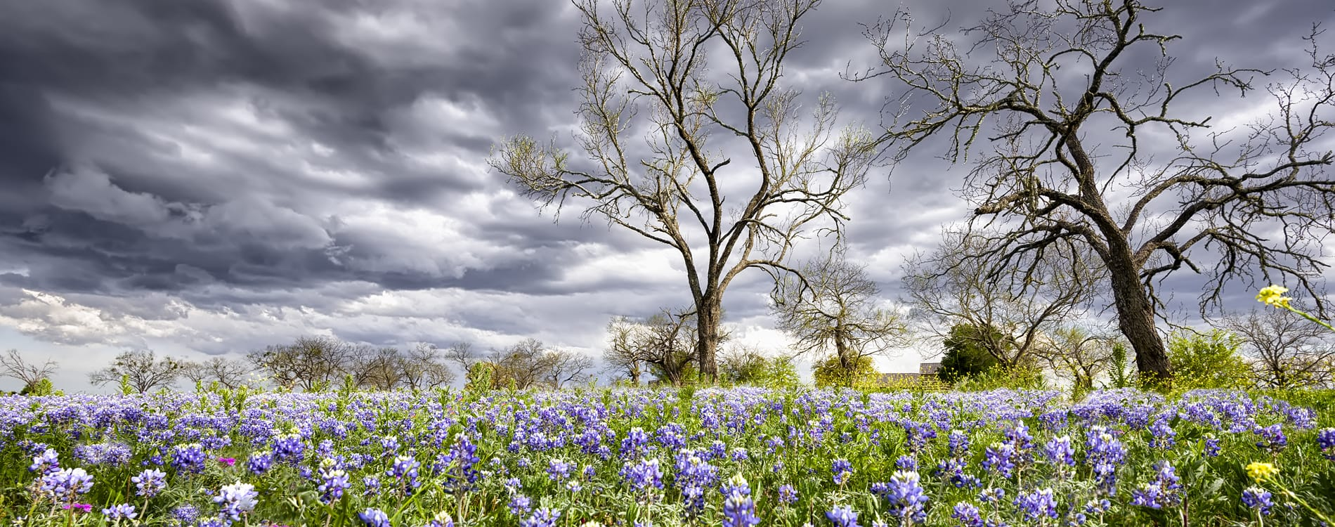 Fredericksburg, TX - Bluebonnets on a Stormy Day