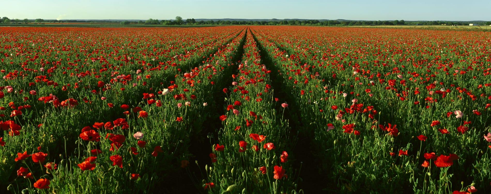 Fredericksburg, TX - Tulip Farm