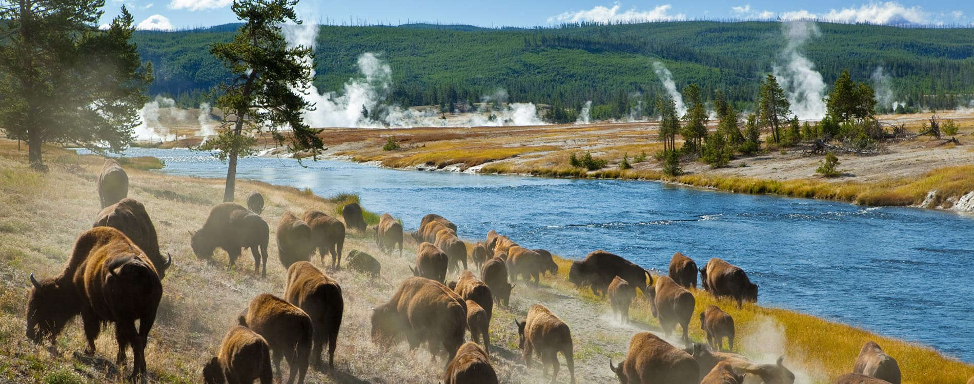 Bison along the Firehole River in Yellowstone National Park