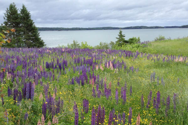 Wildflowers at Jellison Cove